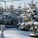 Волынские лесники заготовили елок для 100 тыс. украинских семей