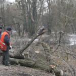 В Луцке рубят старые деревья