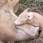 Поголовье свиней на Волыни уменьшается
