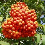 Областной бюджет пополнился четырьмя миллионами гривен за счет заготовки ягод