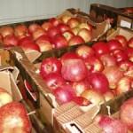 Наши яблоки «съедает» конкуренция