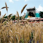 За посевы ржи волыни выплачено 1,3 миллиона гривен