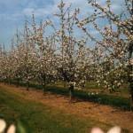 В селе Луч Луцкого района выращивают экологически чистые яблоки